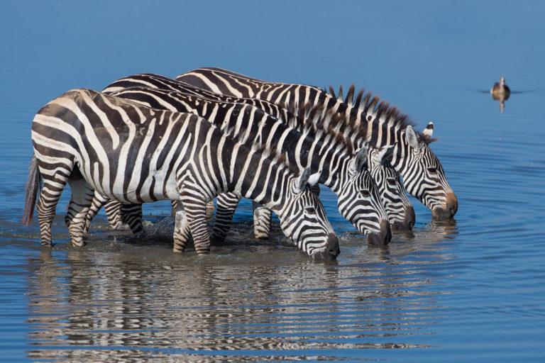 Zebras im See, Fotoreise Kenia, Lake Nakuru
