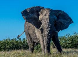 afrikanischer elefant drohend namibia