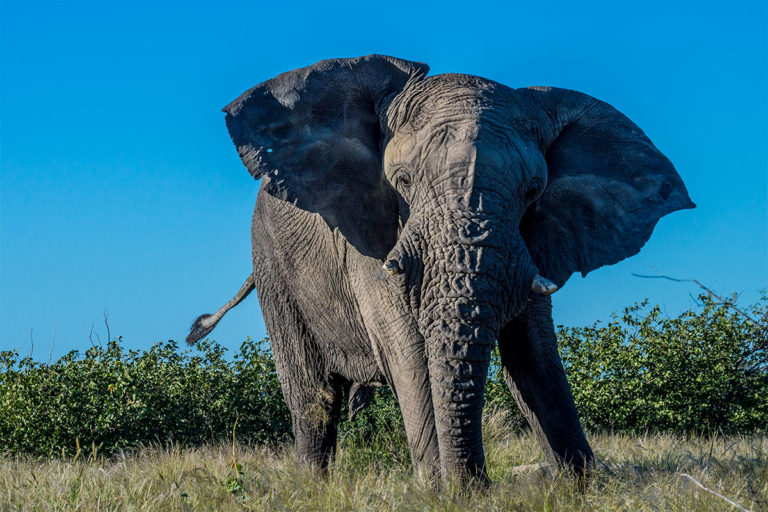 Afrikanischer Elefant, Loxodonta Africana, Afrika, Fotoreise, Botswana