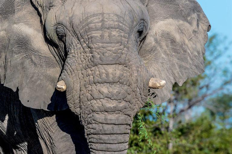 afrikanischer elefant frontal namibia