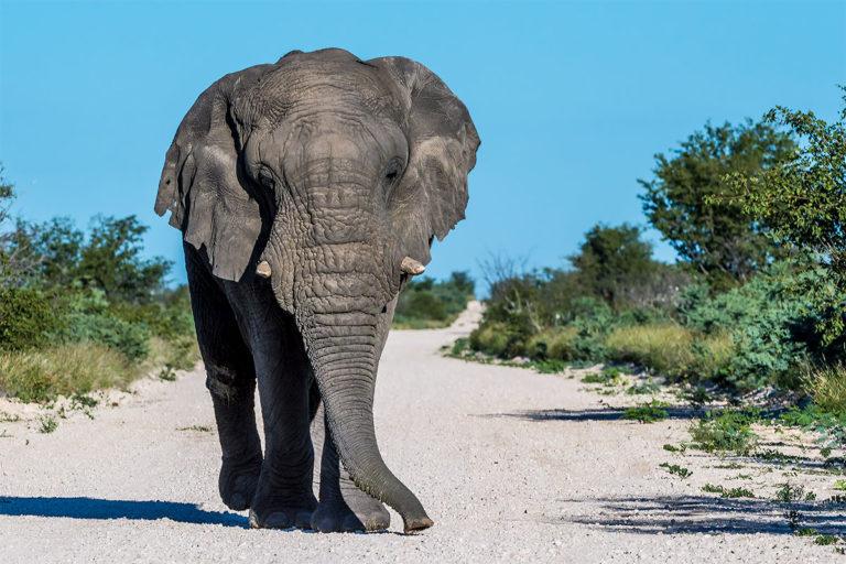 Afrikanischer Elefant im Anmarsch, Fotoreise, Botswana