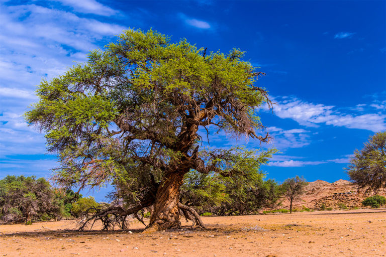 alte akazie im hoanib namibia