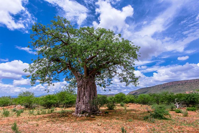 baobab namibia