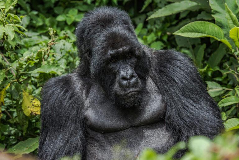 Fotoreise Uganda, Begegnungen mit Berggorillas
