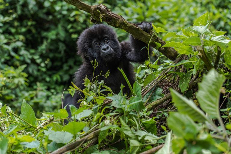 Jugendlicher Berggorilla, Fotoreise Kongo