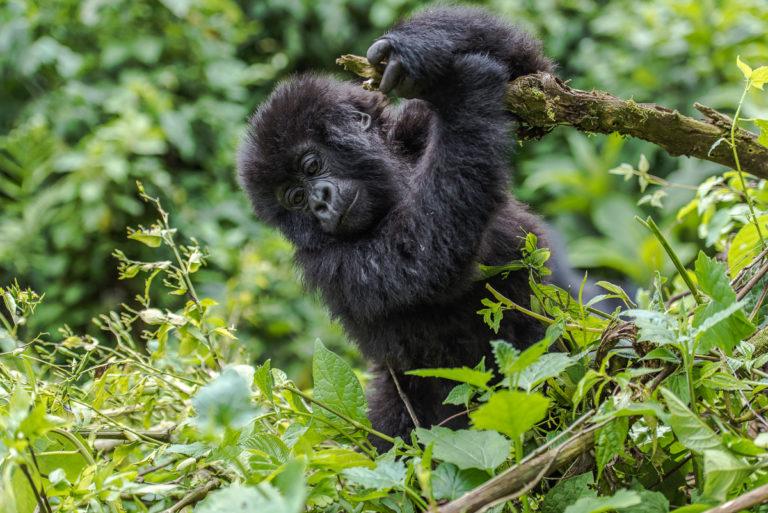 Fotoreise Berggorilla Baby in Uganda, im Bwindi impenetrable Forest, Fotoreise Uganda