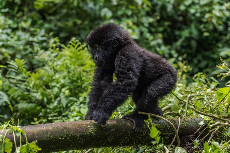 Gorillababy, Fotoreise, Uganda, Dschungel