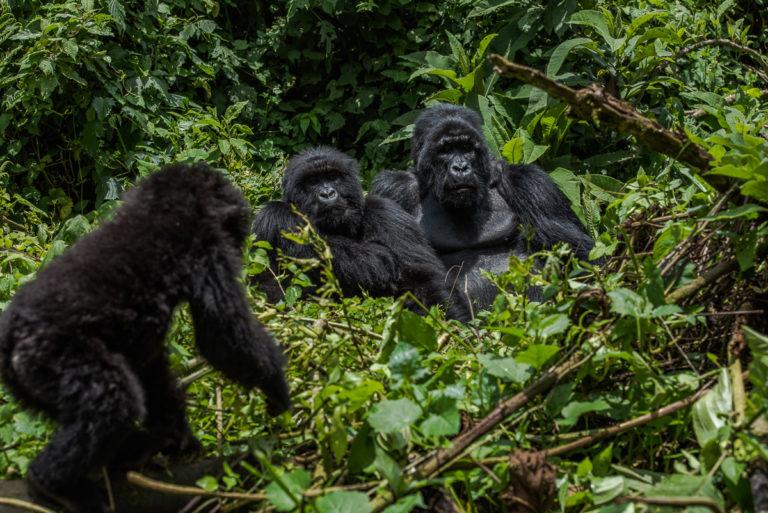 Berggorillas im Kongo, Family Live, im Dschungel, Fotoreise Uganda