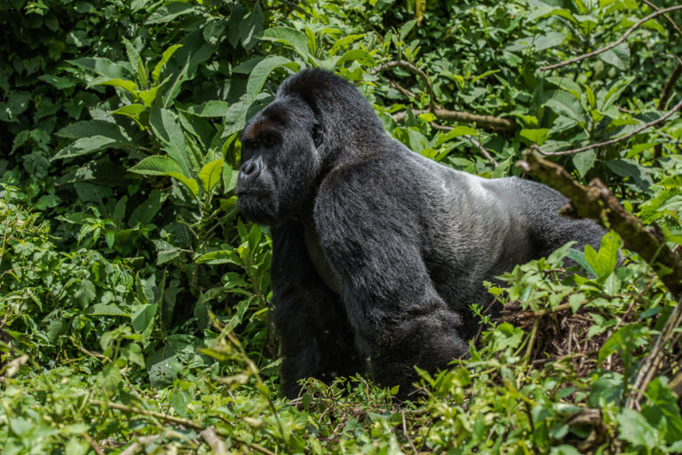 Der Chef, Silberrücken Berggorilla, Fotoreise Uganda