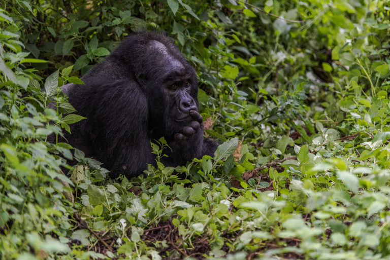 Berggorilla im Kongo,Afrika