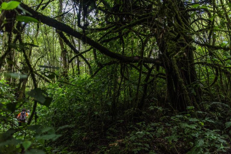 Urwald, Habitat der Berggorillas im Kongo