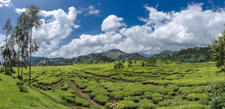 Teeplantagen, Virunga, Vulkane