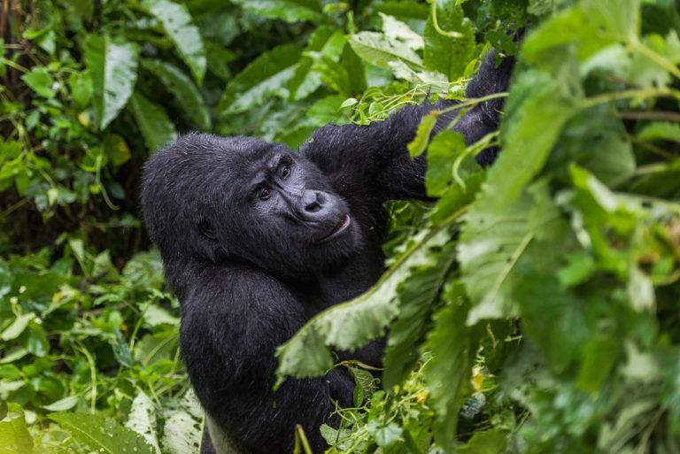 Berggorilla, Afrika, Fotoreise Uganda