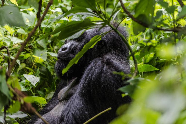 Berggorilla versteckt im Urwald, Kongo Fotoreise