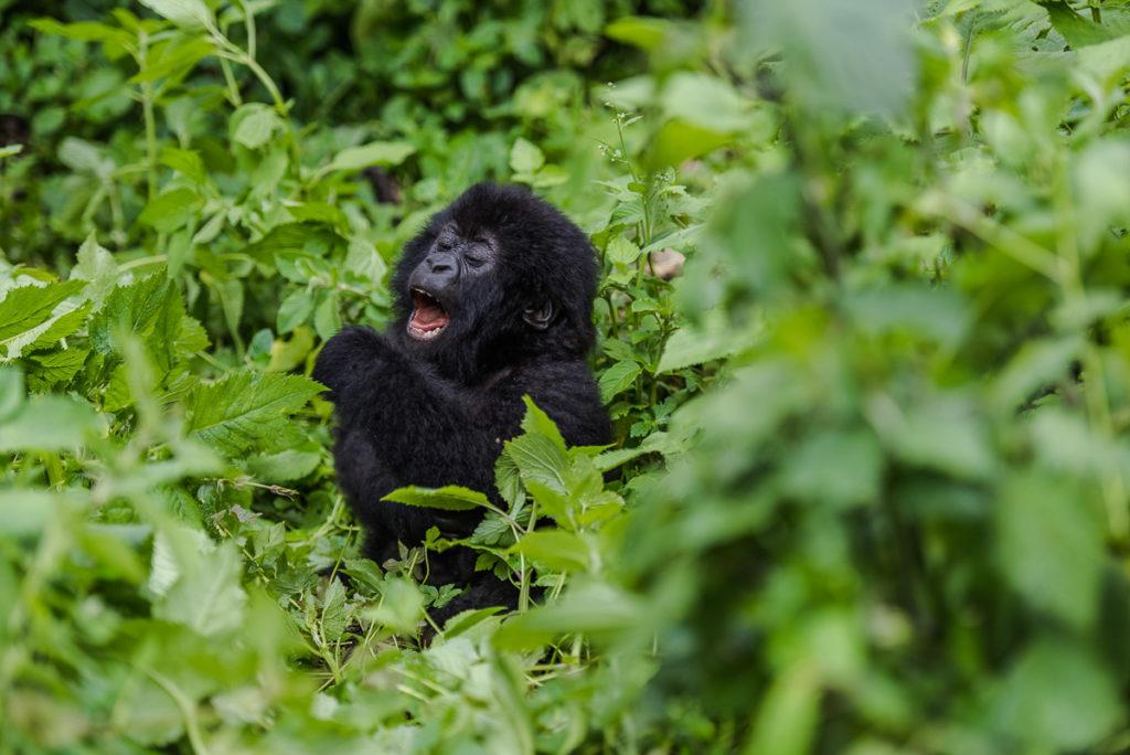 Berggorilla-Baby, Freude am Leben, Fotoreise Uganda