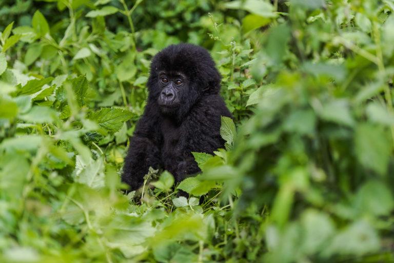 Neugieriger Gorilla, Fotoreise im Kongo