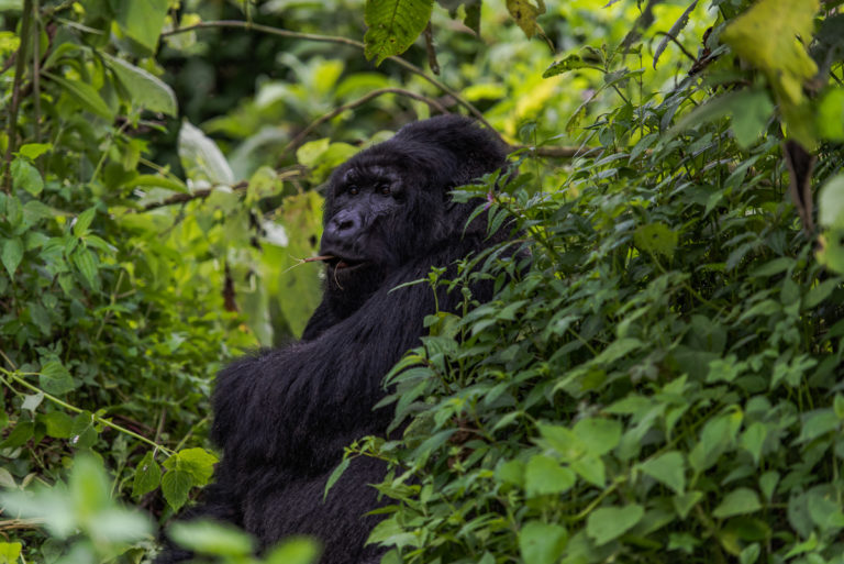Wachsamer Vater, Berggorilla Fotoreise, Kongo