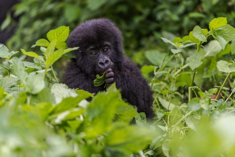 Fotoreise, Uganda, Berggorilla, Baby, in Uganda, Bwindi impenetrable Forest