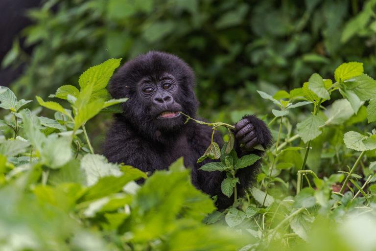 Baby Gorilla, beim Spielen, Fotoreise Kongo