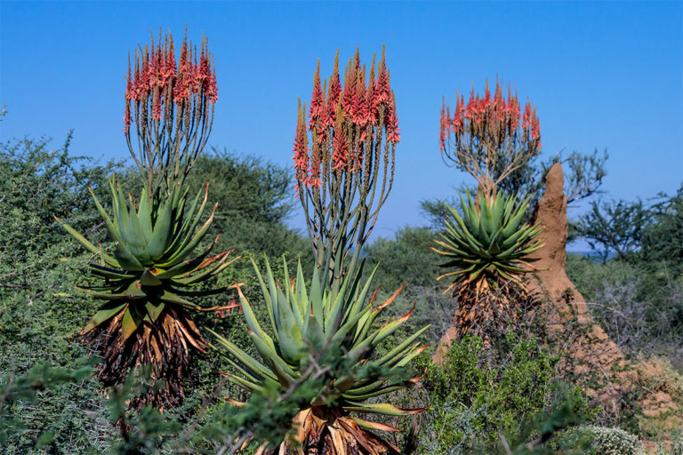 bluehende agaven namibia