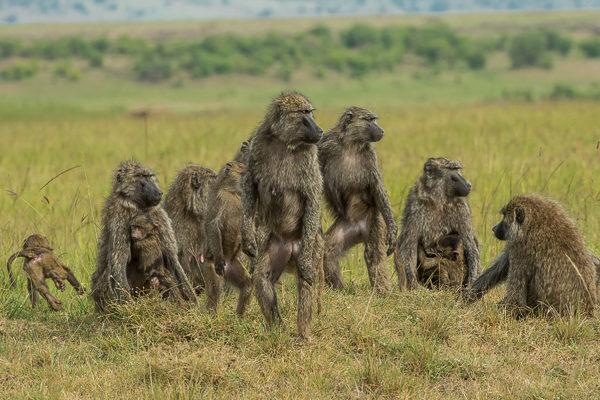 Fotoreise Kenia, Pavian Familie, Masai Mara