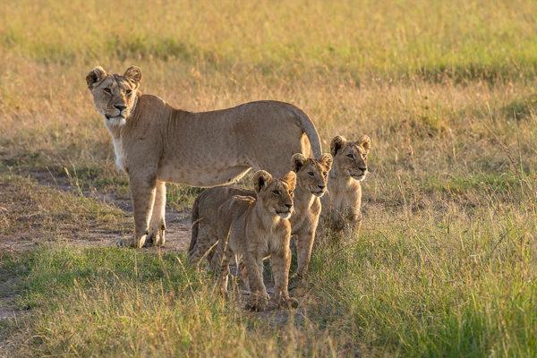 Fotoreise Kenia, Löwin mit Jungen, Masai Mara