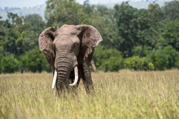 Fotosafari Kenia, Elefant in der Steppe, Fotografie