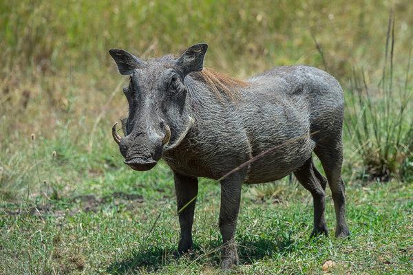Fotosafari Kenia, Tierfotografie, Afrika, Warzenschwein