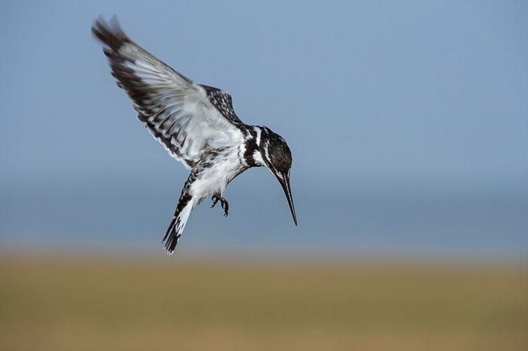 Kingfisher, Eisvogel, Fotoreise, Kenia