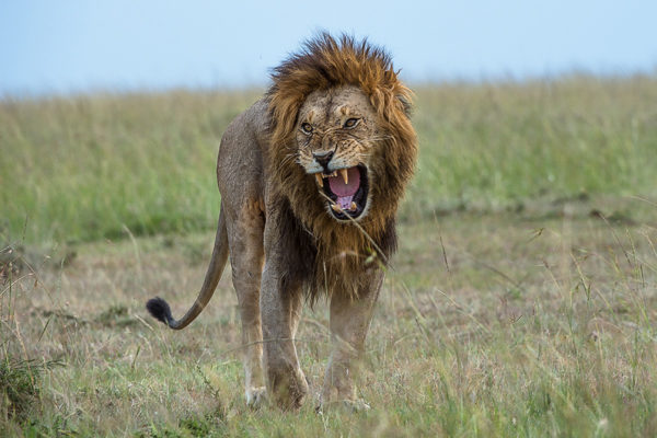 Fotoreise Kenia, Löwenmännchen, Masai Mara