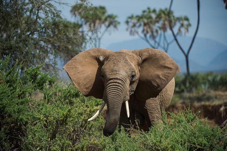 Fotosafari Kenia, Elefant, Tierfotografie