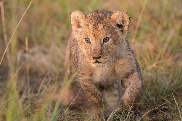 Fotosafari Kenia, Löwenbaby