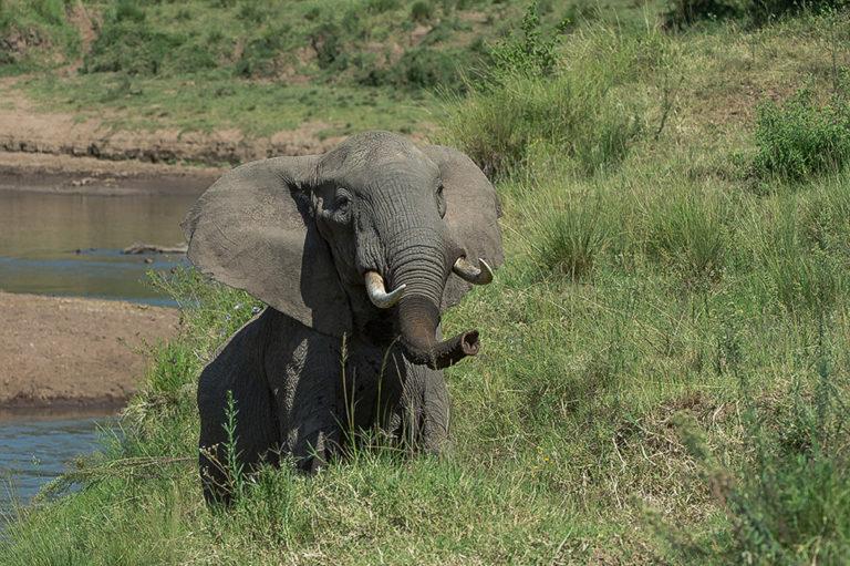 Fotoreise Kenia, Elefantenbulle am Fluss