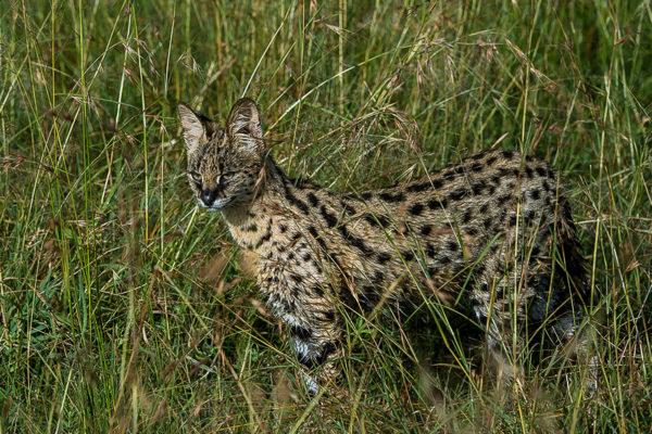 Fotosafari Kenia, Servalkatze, Savanne, Afrika, Photofascination.ch