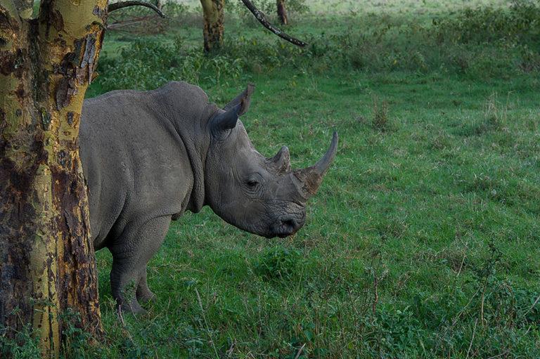 Fotoreise Kenia, Spitzmaulnashorn, Lake Nakuru