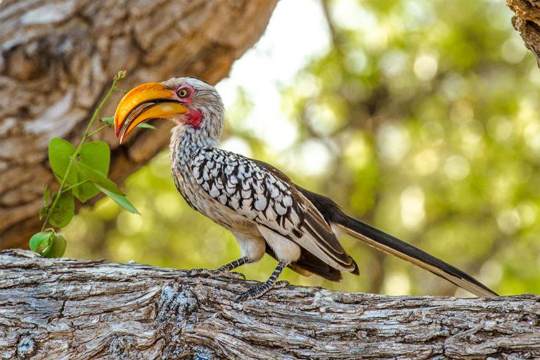 Gelbschnabeltoko, Fotoreise, Afrika, Botswana