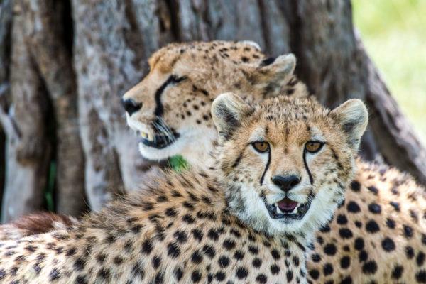 Fotoreise Kenia, Geparden Masai Mara