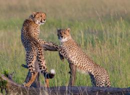 geparden auf baum masai mara kenya