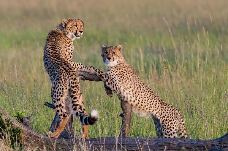 Fotosafari Kenia, Geparden, Masai Mara