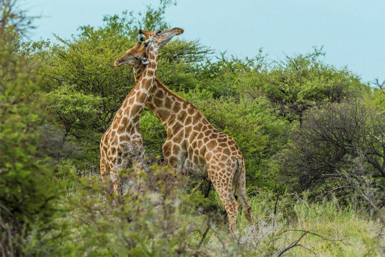 Netzgiraffen beim Liebesspiel, Fotoreise Uganda
