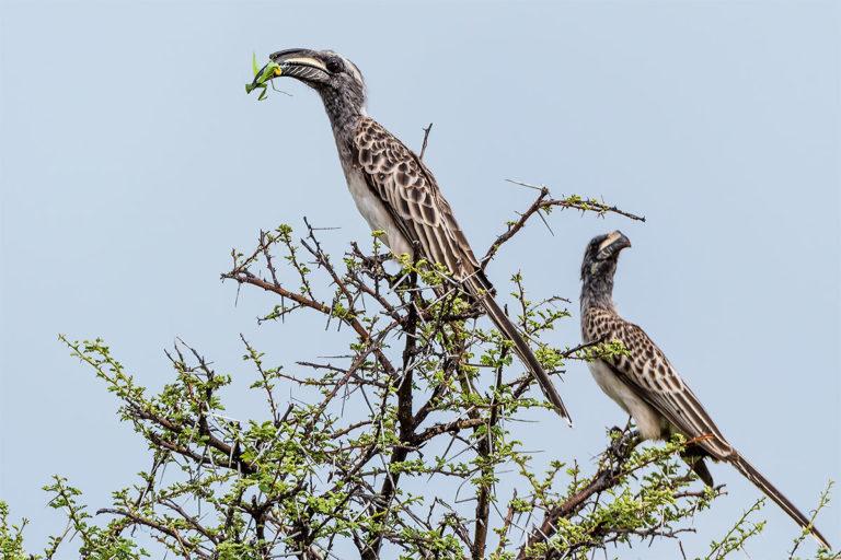 grauschnabeltoko namibia