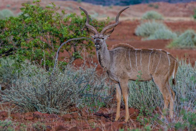 grosser kudu namibia