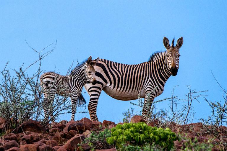 hartmanns bergzebra namibia