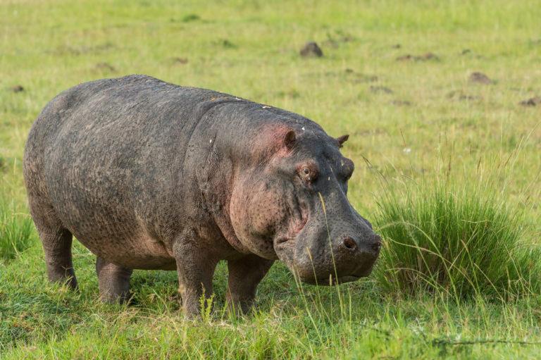 Fotoreise Kenia,Hippopotamus Flusspferd, Afrika,