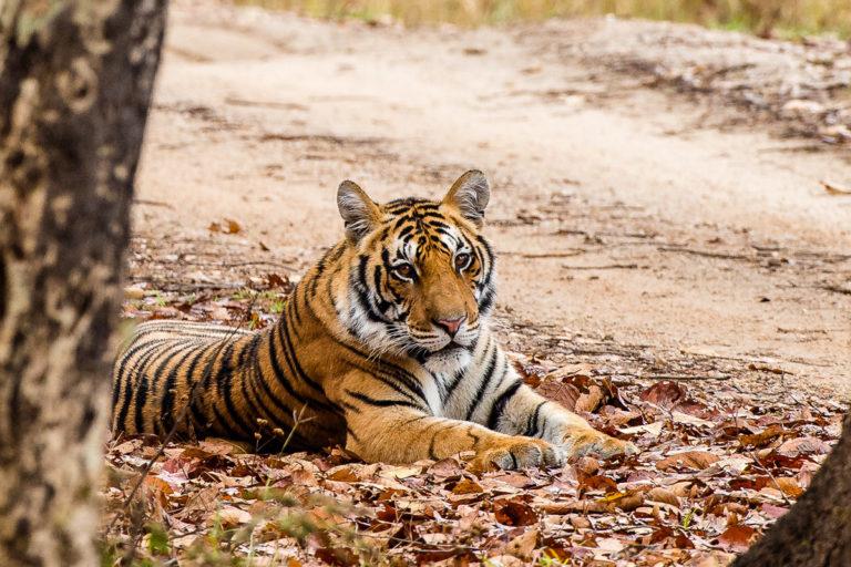 Männlicher Bengaltiger in Indien, auf Tigersafari mit Photofascination.ch