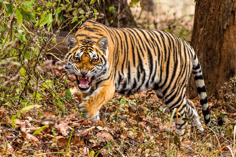 Fotoreise, Bengaltiger, Indien Tadoba Nat.-Park