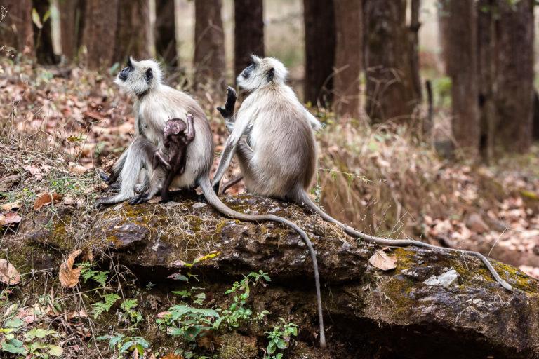 Langurenaffen, Indien Fotoreise, Photofascination.ch