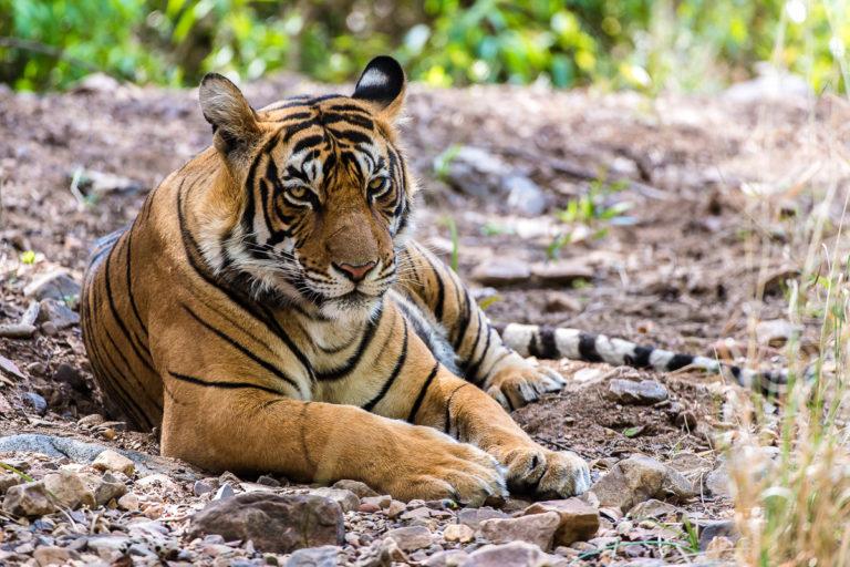 Fotoreise in Indien Ranthambhore, Bengaltiger