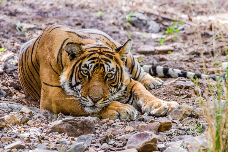 Fotoreise Bengaltiger, Indien, schlafender Tiger