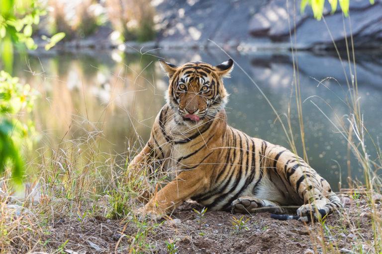 Fotoreise Bengaltiger, mit Photofascination